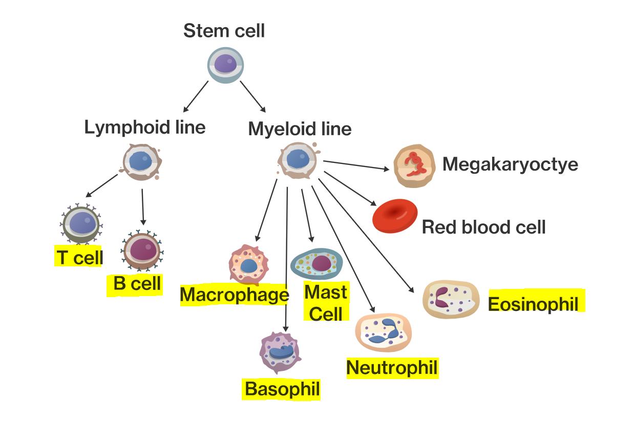 Eosinophils bezos